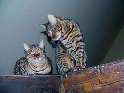 Dos gatos masculinos de Bengala.