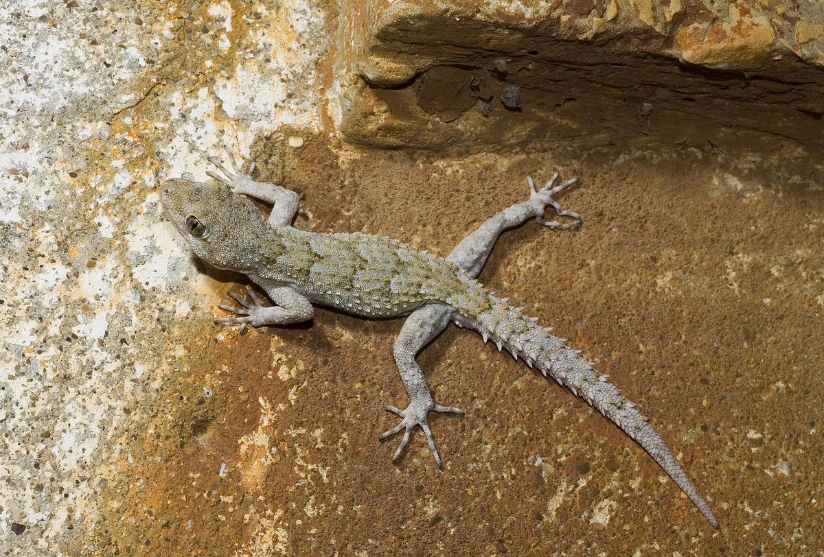 Benny Trapp Mediodactylus kotschyi Peloponnes.jpg