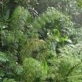 Bergbambus Costa Rica.jpg