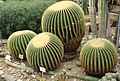 Berlin-Dahlem, botanischer Garten, Echinocactus grusonii.JPG