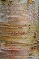 Betula Hergest (1361954033).jpg