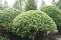 Betula nigra Little King 2zz.jpg