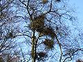 Betula pubescens Taphrina.jpg