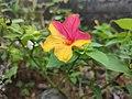 Bicolour flower.jpg