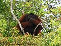 Big Orangutan.JPG