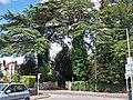 Big trees in Magazine Road - geograph.org.uk - 1441902.jpg
