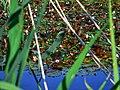 Biotope Lake of Gargazzone - Photo by Giovanni Ussi - Lake and surrounding vegetation (51) 06.jpg