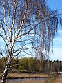Birch near the river Lielupe - panoramio.jpg