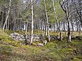Birchwoods at Craggie. - geograph.org.uk - 1252635.jpg