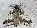 Biston strataria ♀ - Oak beauty (female) - Пяденица-шелкопряд тополёвая (самка) (26049001777).jpg