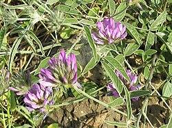 Bituminaria bituminosa flower.jpg