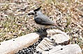 Black-Crested Titmouse. NRCS photo by Beverly Moseley. (24995564892).jpg