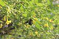 Black- beetle.jpg