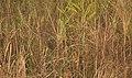 Black-breasted Parrotbill AMSM1128.jpg
