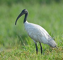Black-headed Ibis (8028611832).jpg