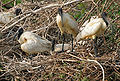 Black-headed Ibis (Threskiornis melanocephalus) with eggs at Garapadu, AP W2 IMG 5208.jpg