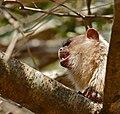 Black-tailed Marmoset (Callithrix melanura) (31448097290).jpg