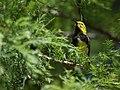 Black-throated Green Warbler (30180543605).jpg