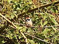 Black-throated Tit (Aegithalos concinnus) 3.jpg