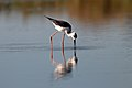 Black-winged Stilt (24445869836).jpg