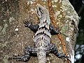 Black Iguana (Ctenosaura similis) (6777204789).jpg