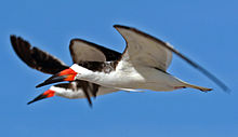 A striking image of two birds in flight. They are black on their backs and white on their bellies. Their beaks are a bright orange-red near their mouths with black at the tips.