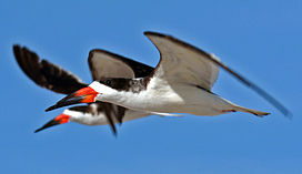 Black Skimmer Close Flying.jpg