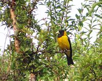 Black and Yellow Grosbeak.jpg