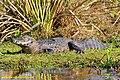 Black caiman Macrofotografie 2.jpg