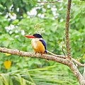 Black capped kingfisher, Halcyon pileata.jpg