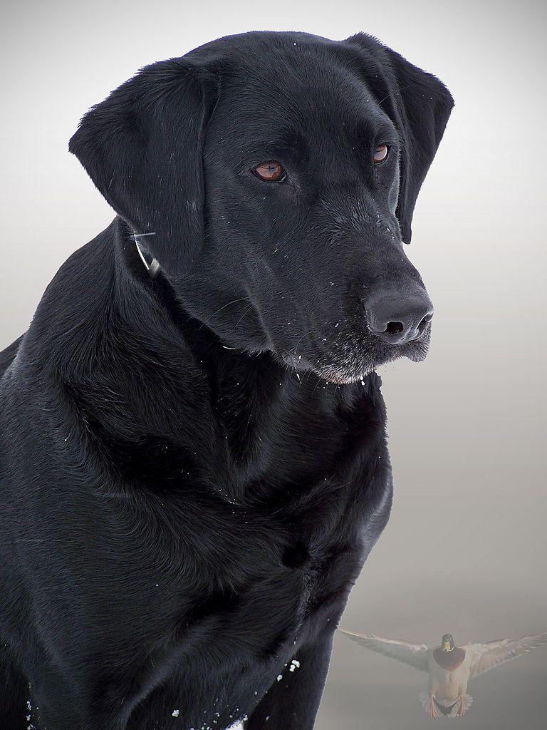 Black Dog Pictures File:Black dog.jpg - W...