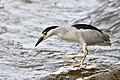 Black night heron.BDT3590.jpg