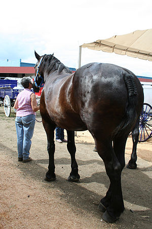 Black percheron draft horse butt.jpg