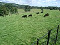 Black sheep grazing at Chirk Castle - geograph.org.uk - 542887.jpg