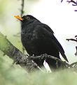 Blackbird in Madrid (Spain) 30.jpg