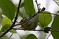 Blackburnian Warbler (male) Sabine Woods TX 2018-04-22 09-31-43 (27122848187).jpg