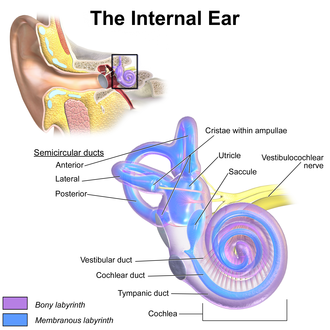 Utricle (ear) - Inner ear, showing utricle near centre