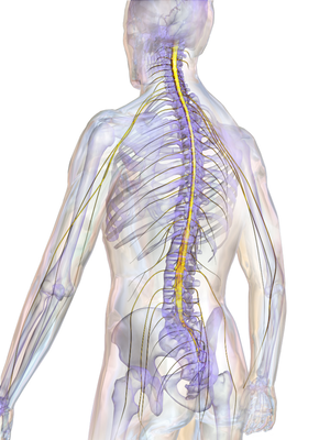 Surfer's myelopathy - Spinal cord