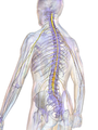 Blausen 0822 SpinalCord.png