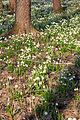 Bledule jarní v PR Králova zahrada 27.jpg