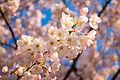 Blooms (2405127030).jpg