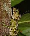 Blue-eyed Angle-headed Lizard (Gonocephalus liogaster) (15683956935).jpg