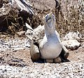Blue-footed booby (47945182867).jpg