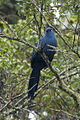 Blue Coua - Andasibè - Madagascar S4E7927 (15102516428).jpg