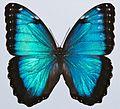 Blue Morpho (Morpho peleides) (8419468465).jpg