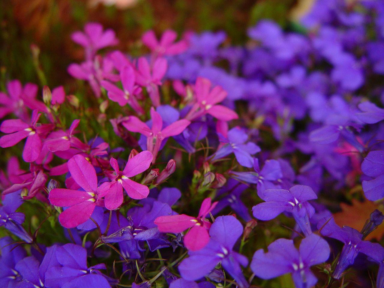 Fileblue And Purple Flowers Against Unfocused Purple Flowersg
