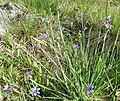 Blue eyed grass - Flickr - brewbooks.jpg