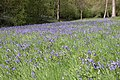 Bluebells in Yatton Wood - geograph.org.uk - 166623.jpg
