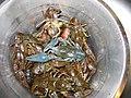 Bluish-crayfish flash FI-EU 2007-Aug-15 by-RAM.JPG