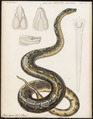 Boa eques - 1700-1880 - Print - Iconographia Zoologica - Special Collections University of Amsterdam - UBA01 IZ11900053.tif